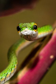 Satiny Parrot Snake, Leptophis depressirostris in Costa Rica.  Danny saw one in the Mexican jungle.