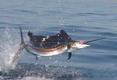 Sailfish are the fastest fish in the ocean and can leap out of the water at speeds of up to 68 miles per hour.