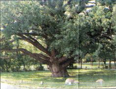 ukrainian mennonites | This giant oak was a meeting place for Mennonites when they left ...