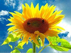 girasol amarillo con fondo cielo azul