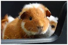 The Guinea Pig Daily: Keiko