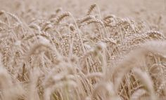 Wheat by Ben Collins on 500px