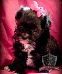 Maltipoo puppy - Little Miss Joy