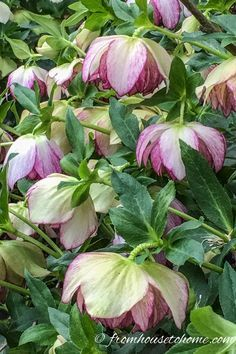 These tips for growing Lenten Rose are the BEST! I need some ground cover plants for the shade and these low maintenance Hellebores will be perfect. Definitely pinning! #lentenrose #shadeplants #perennials #gardening #plants #gardenideas