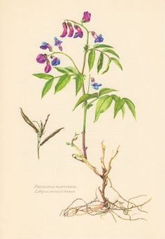 Antique Offset lithograph printed in 1955, beautifully detailed, brilliantly colored, depicting the Spring Pea (Lathyrus vernus). Condition: very