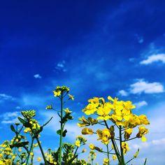 floating yellows #flowers #nanohana #yellow #bluesky #spring #garden #showamemorialpark #tachikawa #tokyo #japan