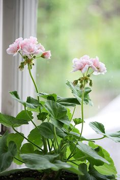 My indoor garden: It's so nice to have something growing inside that blooms and flowers throughout the year, adding a much needed pop of color. Geraniums are so cheerful and lovely! Mine are hot coral pink.