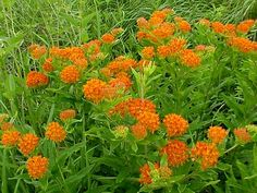 Asclepias tuberosa (Butterfly Weed) Drough tolerant. Attracts butterflies. Fun plant for my orange garden area.