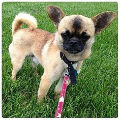 Pet Adoption has dogs, puppies, cats, and kittens for adoption. Chihuahuas, Pugs, Maple Grove Minnesota, Pug Mix, Chihuahua Love, Lost Pets, Losing A Pet, Shelter Dogs, Four Legged