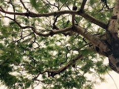 那覇の街路樹 沖縄:seymour's garden:So-net blog