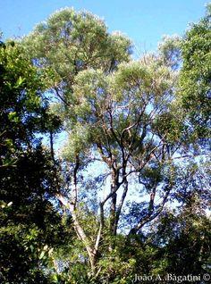 Piptocarpha augustifolia - Vassourão-branco, Braço-de-rei.  Flora Digital do Rio Grande do Sul e de Santa Catarina: Piptocarpha angustifolia