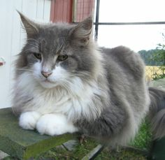 Norwegian Forest Cat Maine Coon   ... aboute contact nfc mco guestbook links norwegian forest cat maine coon
