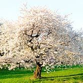 Kwanzan Flowering Cherry Trees for Sale | Fast Growing Trees