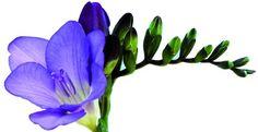 Blue Fresia / My Favorite Flower