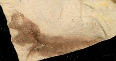 Alosa sp., Oligocene, Menilite Beds, Carpathian Mountains, Poland; Photo © amberabg
