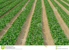 Japanese Mustard Spinach Crop At Farm Stock Photo - Image of asia, japan: 40517830 Japanese Farmer, Crop Farming, The Row, Spinach, Vectors, Mustard, Vineyard, Asia, Stock Photos