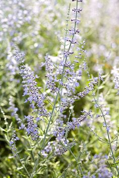 Russian sage, Perovskia their color for weeks. Paired with the plant's fragrant, silvery foliage, Russian sage is a must-have for your garden. Russian sage grows 3 to 5 feet tall, dwarf forms are more compact reaching 3 feet in height. Grows in Zones Hardy Perennials, Flowers Perennials, Shade Garden, Garden Plants, Flowers Garden, Moss Phlox, Cranesbill Geranium, Russian Sage, Easy Care Plants