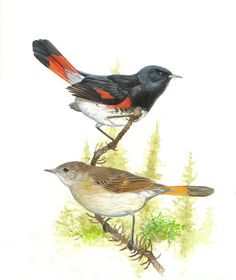 American Redstart (Setophaga ruticilla) is a New World warbler. It is unrelated to the Old World redstarts. It derives its name from the male's red tail, start being an old word for tail.