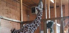 No joke: April the giraffe still pregnant