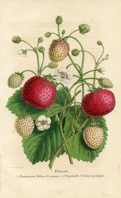 "Strawberries - From the Belgian horticultural journal ""La Belgique Horticole"" (Belgium, 1851) - Chromolitograph"