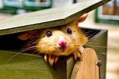 Golden brushtail possum - too cute!!
