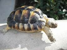 TORTOISES - Yahoo Search Results Yahoo Image Search Results