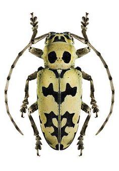 Freadelpha (Geloharpya) confluens