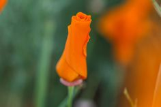 The Stumbleweeds ( Antelope Valley Poppy Reserve, Poppies, Channel, Public, Facebook, Photo And Video, Videos, Check, Flowers