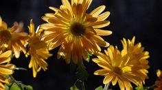 Chrysanthemen bringen Farbe in den tristen Herbstgarten. (Quelle: imago)