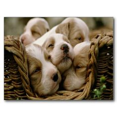 Pick one of our curated puppy wallpaper and make your day and mood beautiful by just looking at them. Little Puppies, Cute Puppies, Cute Dogs, Dogs And Puppies, Spaniel Puppies, Newborn Puppies, Labrador Puppies, Dogs 101, Small Puppies