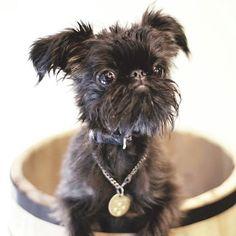 BOOSKA I Love my Brussels Griffon「Belgian Griffon 4 personality」❤ #petstagram#dogstagram  #ilovemydog #friendlypets#doggy #happydog#flyingdog#doglove #dogoftheday  #instadogs #ベルジアングリフォン#dogofthedayjp #puglove #griffonsmile#griffon #blackdog#happysmiledog #griff#犬バカ部 #griffonbelge#instadog#黒犬 #brusselsgriffon #犬オフ会#dogdog #BelgianGriffon#petstagram