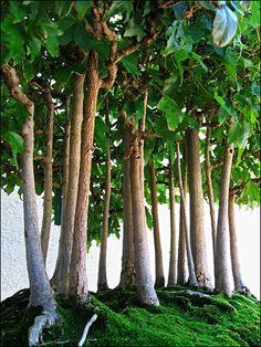 Bonsai Forest #bonsai #gardening