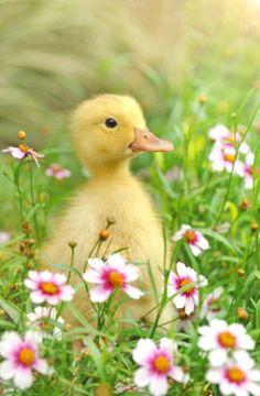Duckling #Cute