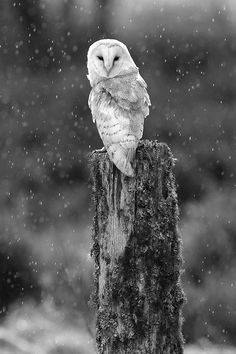 Barn owl in snow .black and white owl photography