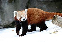 220px-Ailurus_fulgens_-_Syracuse_Zoo.jpg (220×147)