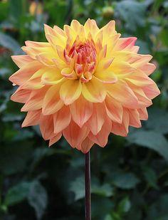 Baron Keith. Good cut flower