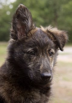 wolf1 Do Dogs Smile, Smiling Dogs, Dutch Shepherd Puppy, Shepherd Puppies, Happy Animals, Animals And Pets, Cute Animals, Dog Crying, Dog List