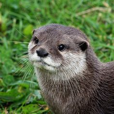 Guess which animals have been spotted in the lake today for the first time in many many years! Note - this otter is a random model otter. Fyvie otters will be much cuter! Otters Cute, Baby Otters, Baby Sloth, River Otter, Sea Otter, Cute Kawaii Animals, Cute Funny Animals, Cute Animal Photos, Animal Pictures