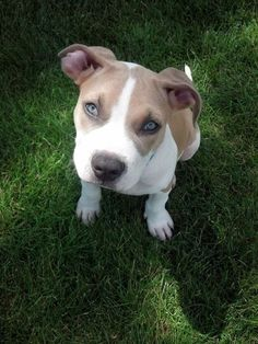 Stewie the amstaff puppy being a beautiful little boy outside. :-) #animals #dogs #pets #love #sweet #aww