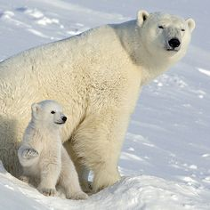 「Polar bear mother and cub. Svalbard. (repost on request) ------------------------------------ The polar bear spends most of its life on the frozen ocean,…」