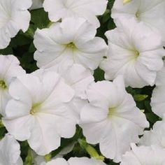 Petunia Easy Wave White ~ White geranium + white petunia + chartreuse ornamental sweet potato vine for big planter on Quarry School porch. Annual Flowers, All Flowers, Wedding Flowers, Bouquet Flowers, White Flowers, Garden Seeds, Planting Seeds, Trailing Petunias, Big Planters