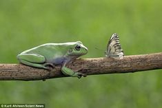 Face to face: It looks as if the frog is about to eat this insect for dinner, but what happened next was altogether more remarkable, as it hopped on to the frog's back