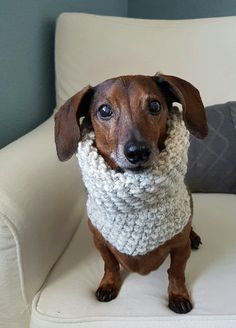 Keep your furry friend warm and cozy in this fun snood! Perfect for those chilly fall and winter walks. Handmade with chunky yarn in Wheat. Made for a small dog. Model is a Miniature Dachshund weighing approx. 12.5lbs. Snood is stretchy and could fit a slightly larger breed.