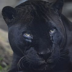 If we had a prom, Orson the black jaguar would probably be prom king.