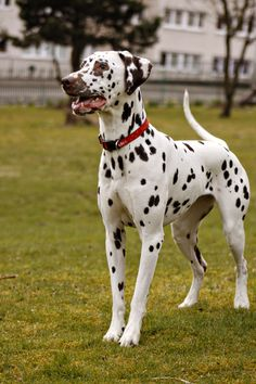 Liver Spotted Dalmatian, Amber