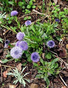 Jasione Montana (botón azul) Hierba anual. Florece en mayo-junio.