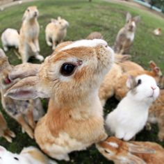 Tourists are overcome with rabbits while on a trip to Rabbit Island in Japan…