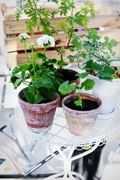 Houseplants That Filter the Air We Breathe Potted Little Plants, All Plants, Indoor Plants, Plant Bugs, Natural Bug Spray, Desert Plants, Plant Nursery, Small Gardens, Geraniums