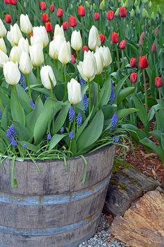 White spring tulips in barrel planter