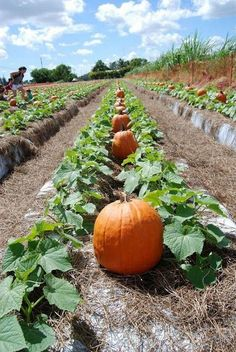 Growing Vegetables - Even better still, learn to save seeds once your harvest is finished, so you are ensured of having heirloom seeds […] Pumpkin Garden, Autumn Garden, Pumpkin Plants, Pumpkin Trellis, Starting A Vegetable Garden, Home Vegetable Garden, Planting Vegetables, Growing Vegetables, Gardening For Beginners